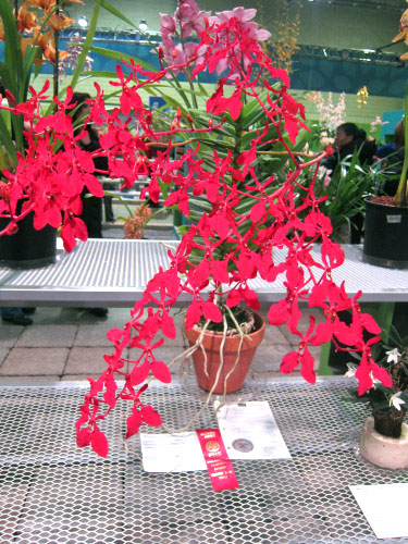 Renanthera Kalsom Red Dragon Lady Orchid