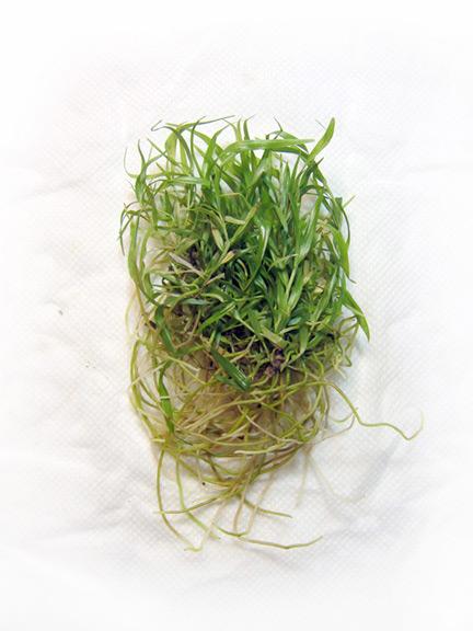 Dendrobium-cinnabarinum-seedlings-4-Colleen-Rochette